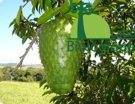 Le fruit et la feuille de graviola biologique