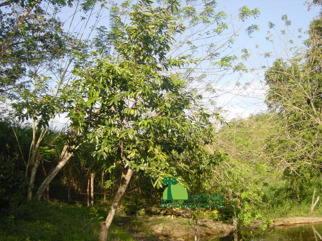 Le corossolier l'arbre aux milles vertus
