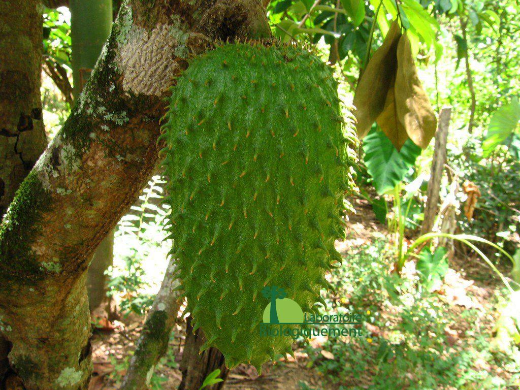 Acheter du fruit du graviola contre le cancer, ces feuilles et ces graines sur Biologiquement.com
