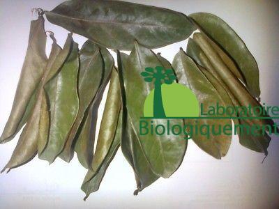 Les feuilles séchées de graviola corossol anticancer naturel puissant