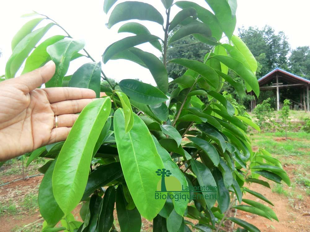 Le corossolier qui produit les feuilles de graviola corossol anticancer naturel puissant